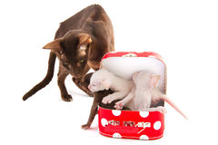 Havanna siamese cat with kitten Stock Photos