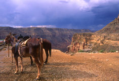 Havasupai Canyon. Donkeys lined up ready to head into the canyon royalty free stock photos