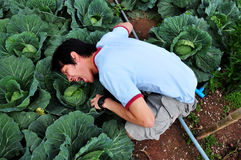 Have cabbage Stock Photography