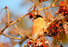 Have Ed bullfinch. At the end of the winter bullfinch are going to bull's-eye eats in gardens Stock Photography