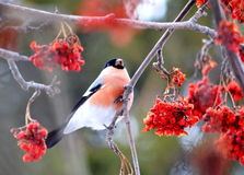 Have Ed bullfinch. At the end of the winter bullfinch are going to bull's-eye eats in gardens Royalty Free Stock Image