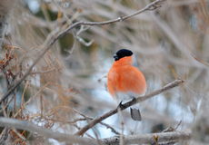 Have Ed bullfinch Stock Photo
