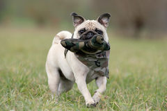 Have fun. Frontal close-up of a young blond pug fetching its toy Stock Photos