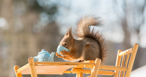 Have a good drink. Close up of  red squirrel standing on a table with a cup in the hands Stock Photos