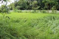 The paddy field of manipur royalty free stock photos