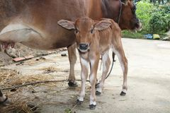 The calf with the cow Stock Image
