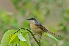 Ashy Prinia or ashy wren-warbler Prinia socialis is a small warbler royalty free stock photos