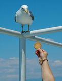 Have some cookie!. Woman hand feeding a cookie to a sea gull royalty free stock image