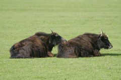 Have You Got My Back...Yak. Two hairy yaks in a field stock photography