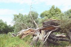 Havel river landscape with dead willow tree. storm damage. vinta Royalty Free Stock Images