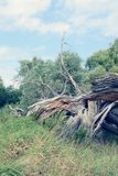 Havel river landscape with dead willow tree. storm damage. vinta Stock Image