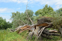 Havel river landscape at summer time. dead willow tree. Royalty Free Stock Photo