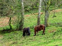 Haveloze poneys, haveloze bomen, het haveloze weiden Stock Afbeelding