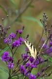 Haveloze tijger swallowtail op purpere bloem stock foto's
