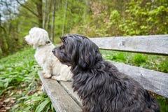 2 havenese собаки сидя на стенде смотря далеко Стоковое Изображение