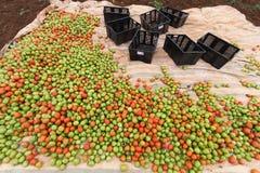 Havest η ντομάτα στο Βιετνάμ Στοκ Εικόνες