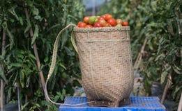 Havest η ντομάτα στο Βιετνάμ Στοκ Φωτογραφίες