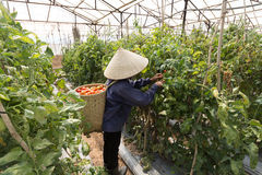 Havest il pomodoro nel Vietnam Fotografia Stock Libera da Diritti