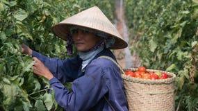 Havest il pomodoro nel Vietnam Immagini Stock Libere da Diritti