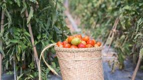 Havest il pomodoro nel Vietnam Immagini Stock