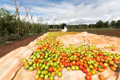 Havest the tomato in Vietnam stock photography