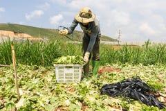 havesting沙拉的大叻农夫 免版税库存照片