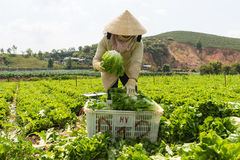 havesting沙拉的大叻农夫 免版税库存图片