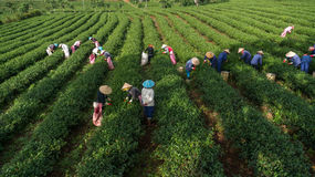 Havesting зеленый чай в Вьетнаме, famer используя руки отрезало верхнюю часть чая Стоковая Фотография RF