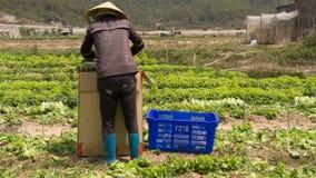 Havesting绿色莴苣在菜园里 免版税库存图片
