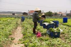 Havesting绿色莴苣在菜园里 库存照片