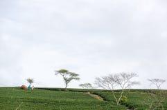 Havesting det gröna teet i Vietnam Royaltyfria Bilder