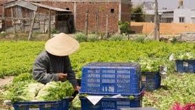 Havesting green lettuce in vegetable garden Stock Photos
