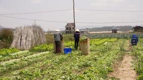 Havesting green lettuce in vegetable garden Stock Images