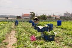 Havesting green lettuce in vegetable garden Stock Photography