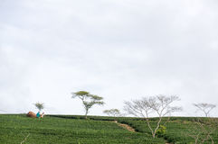 Havesting the green tea in Vietnam royalty free stock images
