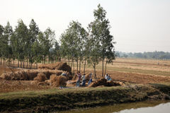 Havesting rolników ryż Zdjęcie Royalty Free