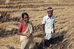 Havesting rolników ryż Obraz Royalty Free