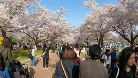 Havet av den blommande körsbärsröda blomningen sakura i jubileums- expo` 70 parkerar stock video