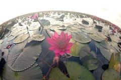 Havet av den röda Lotus Pink näckrossjön i Thailand arkivbild