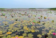 Havet av den röda lotusblomma- eller näckrosblomman Royaltyfri Foto