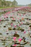 Havet av den röda lotusblomma- eller näckrosblomningen Arkivfoton