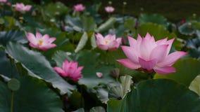 Havet av Lotus Royaltyfri Fotografi