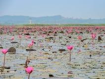 Havet av röd lotusblomma eller näckrons i dammet Royaltyfri Bild