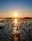 Havet av röd lotusblomma, sjö Nong Harn, Udon Thani, Thailand arkivfoton