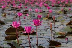 Havet av rosa lotusblommablommor, den fantastiska näckrons blommar, symbolet av serenitet arkivfoton