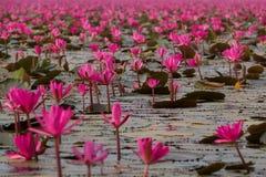 Havet av rosa lotusblommablommor, den fantastiska näckrons blommar, symbolet av serenitet arkivbild