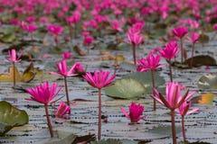 Havet av rosa lotusblommablommor, den fantastiska näckrons blommar, symbolet av serenitet royaltyfria bilder