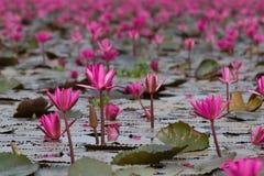 Havet av rosa lotusblommablommor, den fantastiska näckrons blommar, symbolet av serenitet royaltyfria foton
