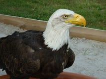 Havet Eagle håller ögonen på dig royaltyfria foton