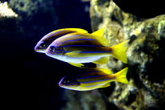 Havet fiskar i akvarium 2 Arkivbild